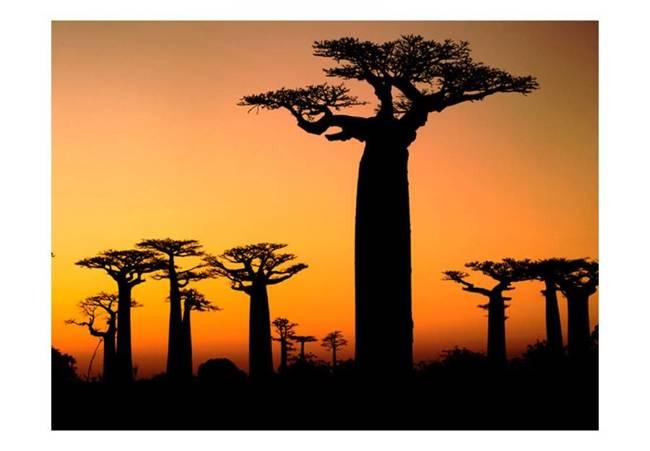 Fototapeta - Afrykańskie baobaby