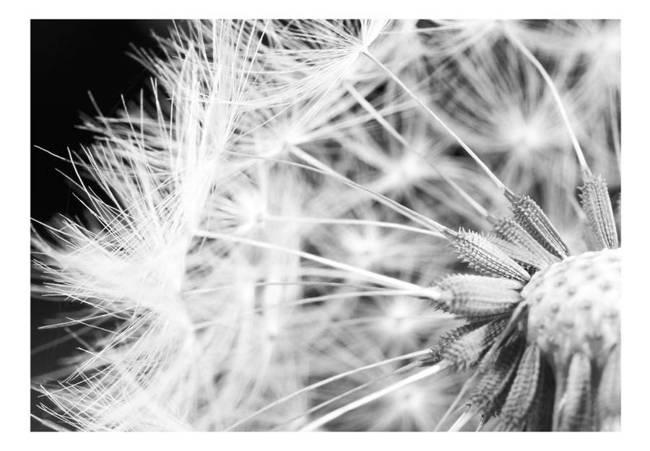 Fototapeta - Czarno-biały dmuchawiec