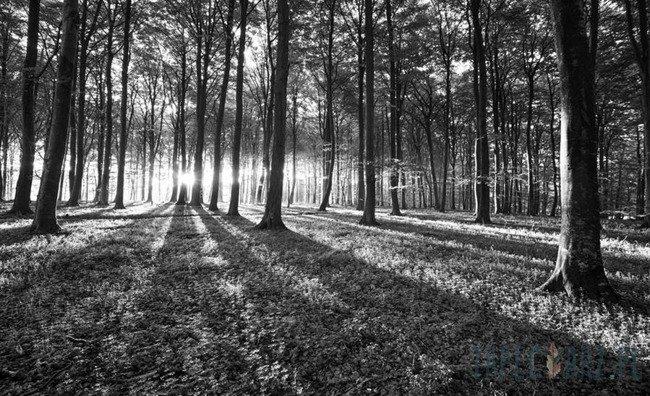Fototapeta Czarno-biały las 2229