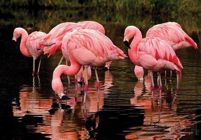 Fototapeta Flamingi 3616
