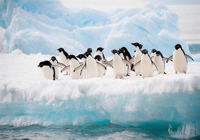 Fototapeta Pingwiny 2726