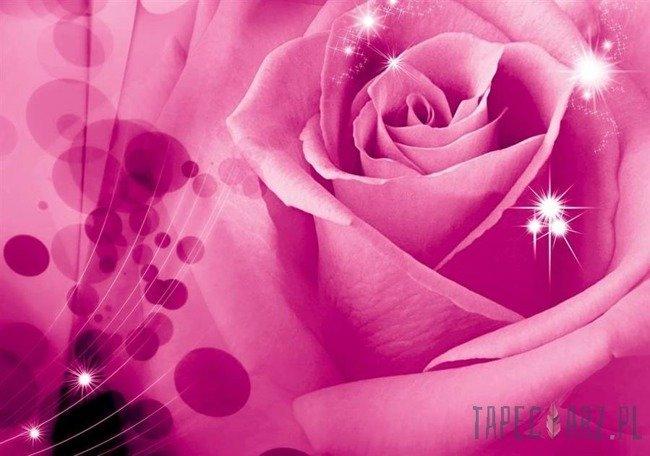 Fototapeta Różowa róża z odbłyskami 579