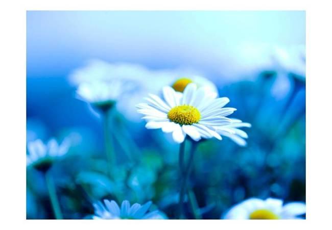 Fototapeta - Stokrotka na niebieskiej łące