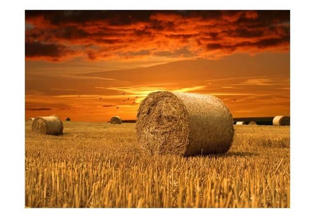 Fototapeta - Złote pola