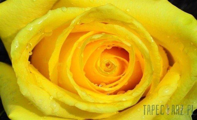 Fototapeta Żółta róża 661