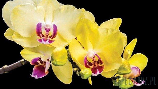 Fototapeta Żółte kwiaty storczyka 1343