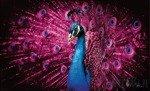 Fototapeta Paw z różowymi piórami 632