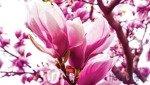 Fototapeta Różowy kwiat magnolii na gałęzi 1341